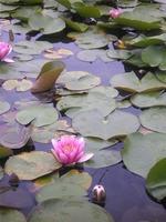 白川郷「蓮の花」