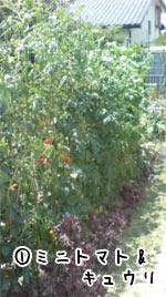 ミニトマトとキュウリ