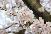 御用水跡公園の桜